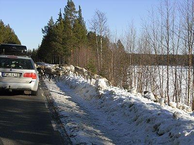 Rentiere auf der Straße zwischen Särna und Idre
