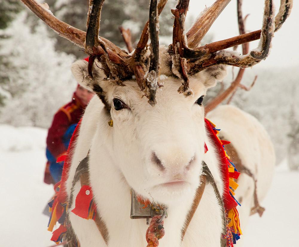 Schwedische Weihnachtslieder und ein weißes Rentier