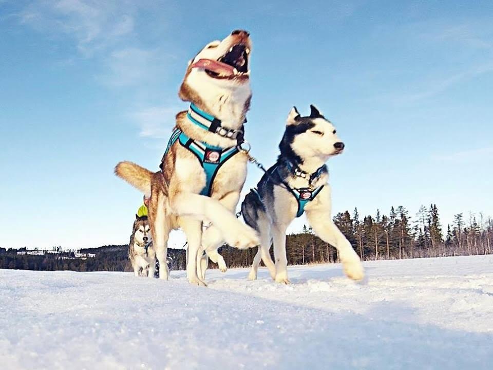 Glückliche Huskys in Lappland in Schweden
