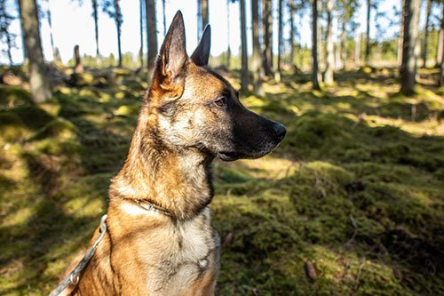 Schäferhund im Wald in Schweden
