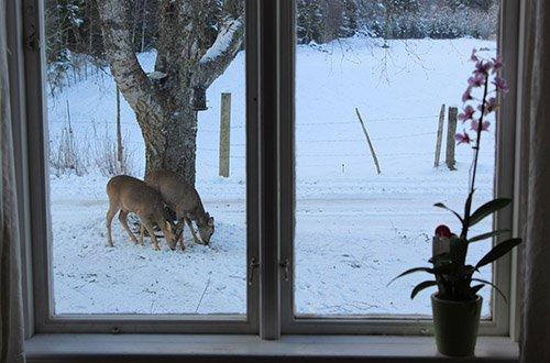 Rehe vor dem Haus in Schweden