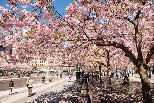 Kirschblüte im Kungsträdgården in Stockholm