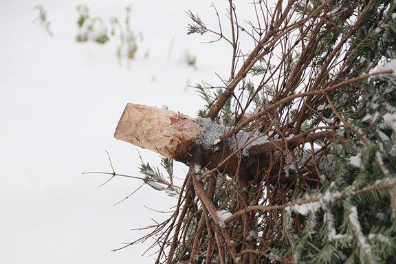 abgeschlagener Baum - Knut