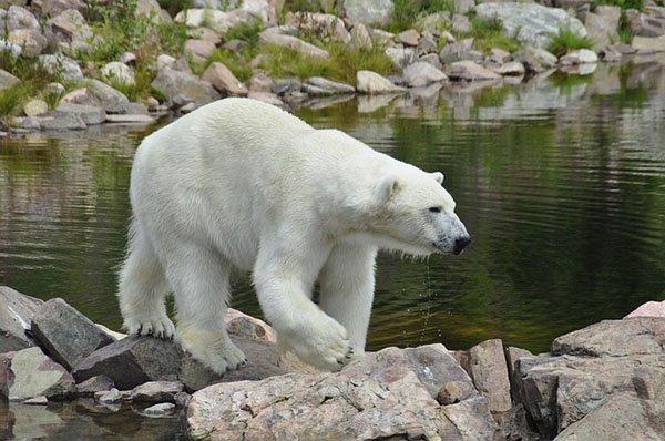 Ein Eisbär im Orsa Wildtierpark